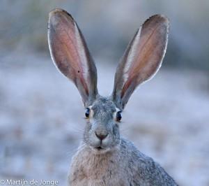 De Black-tailed Jackrabbit gebruikt zijn enorme oren voor zijn warmte regulatie.