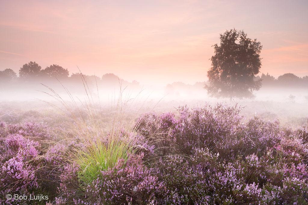 Uitbundige bloeiende heide, kleurcontrast, boom, gekleurde hemel en mist. Niets meer te wensen.