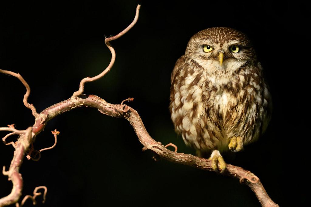 Steenuil (Athene noctua)