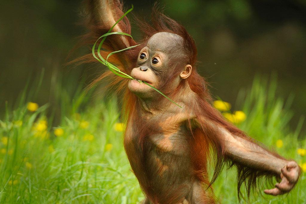 Orang-oetan (Pongo pygmaeus)