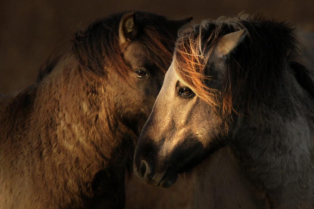 Koniks (Equus caballus)