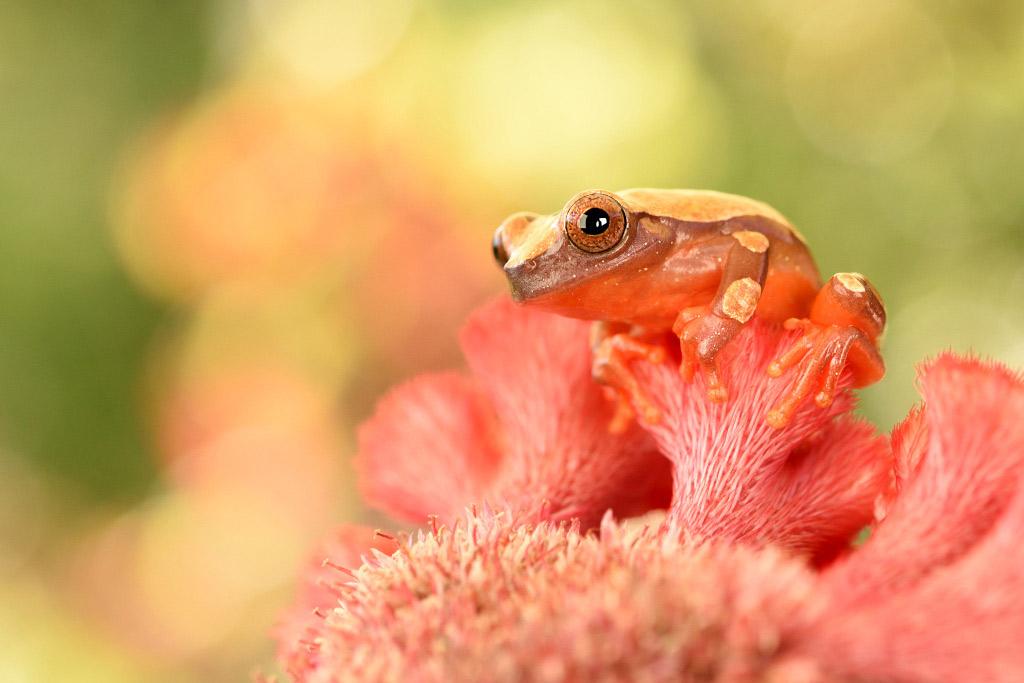Surinaamse boomkikker (Dendropsophus leucophyllatus)