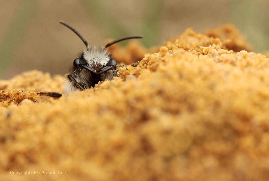 Een vrouwtje Grijze zandbij komt tevoorschijn uit haar nest, dat herkenbaar is aan een klein hoopje zand.