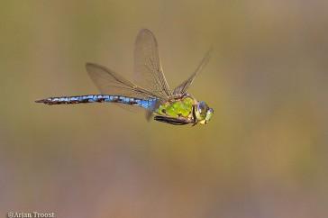 Grote keizerlibel vliegend.