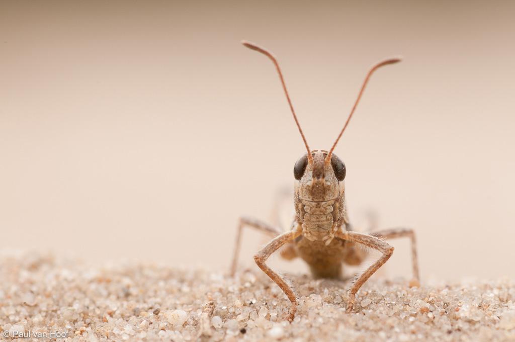 Knopsprietje; Mottled grasshopper; Myrmeleotettix maculatus