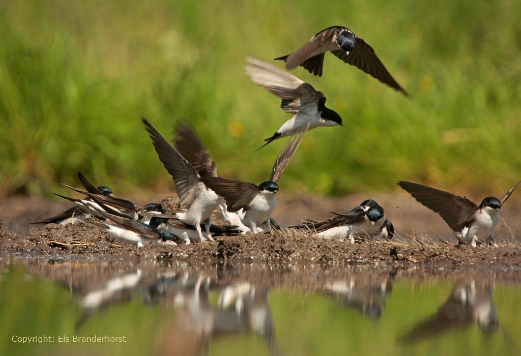 In favoriete modderhoekjes kun je soms veel huiszwaluwen bijelkaar vinden.