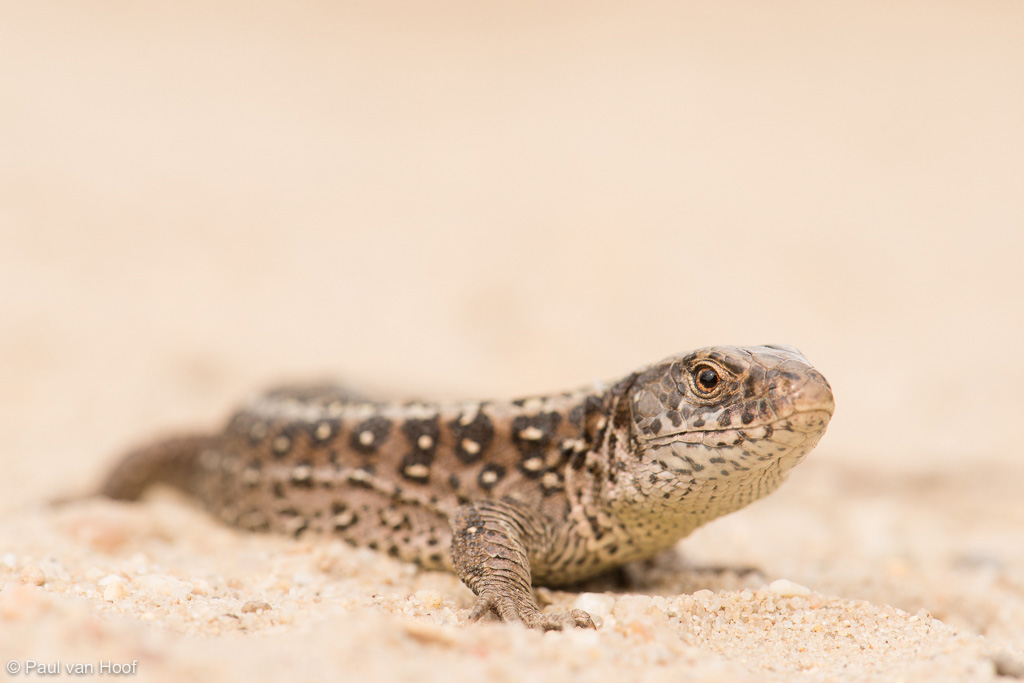Sand Lizard (Lacerta agilis) female on sand