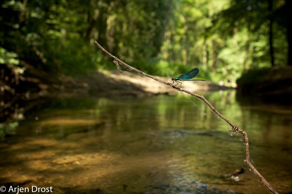 Een mannetje bosbeekjuffer in zijn natuurlijke biotoop: een stromend bosbeekje.
