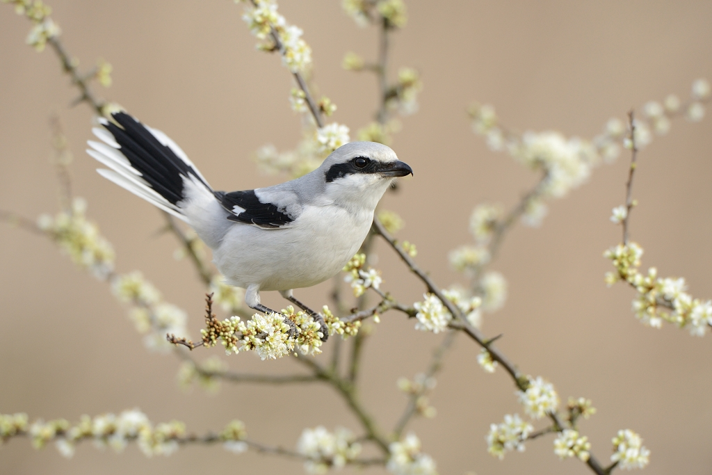 Klapekster; Great Grey Shrike; Lanius excubitor;