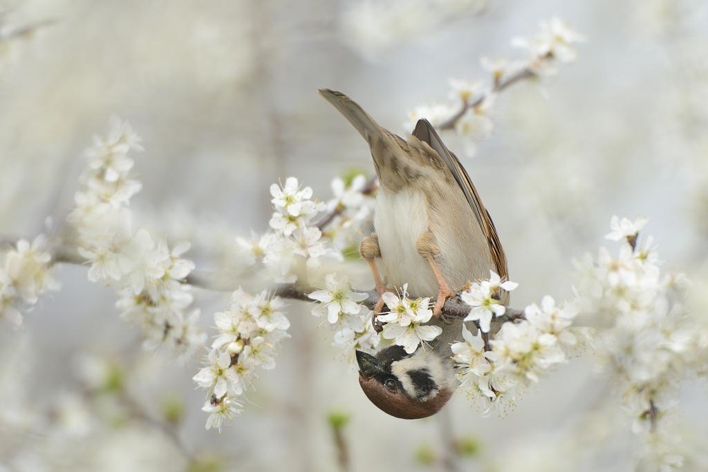 Ringmus; Passer montanus; Tree Sparrow;