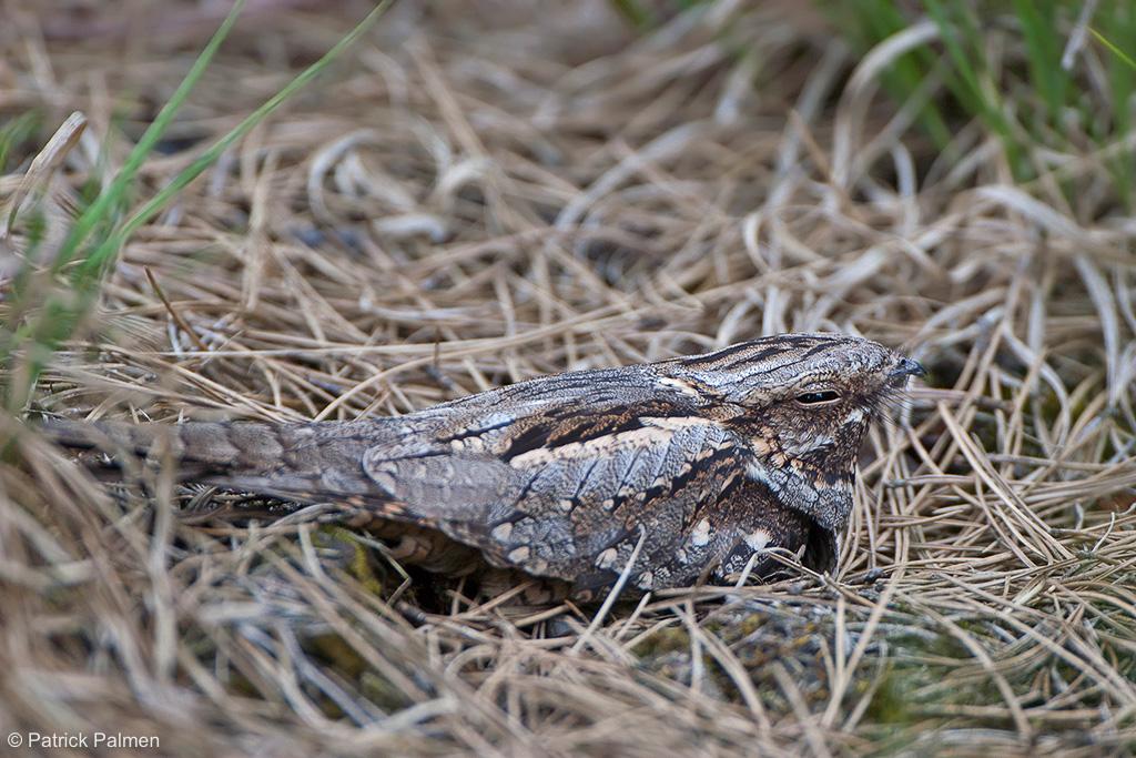 Nachtzwaluw; Caprimulgus europaeus; European Nightjar; Ziegenmel