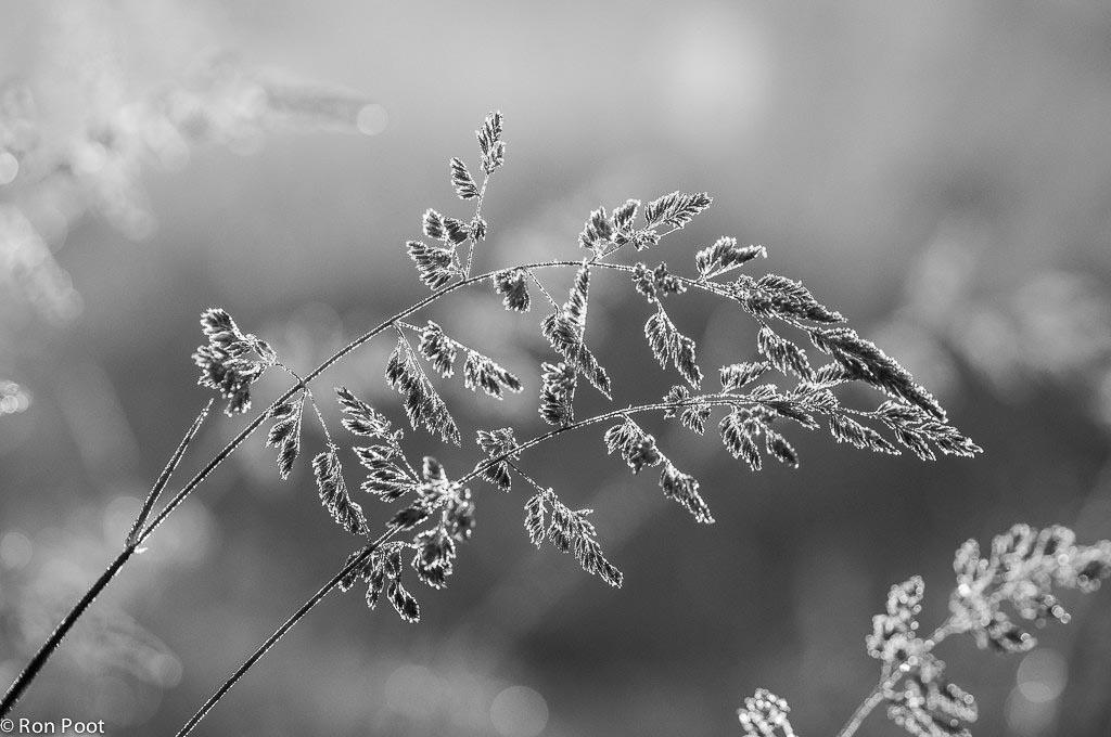 Grassen lenen zich ook goed voor zwartwit opnames.