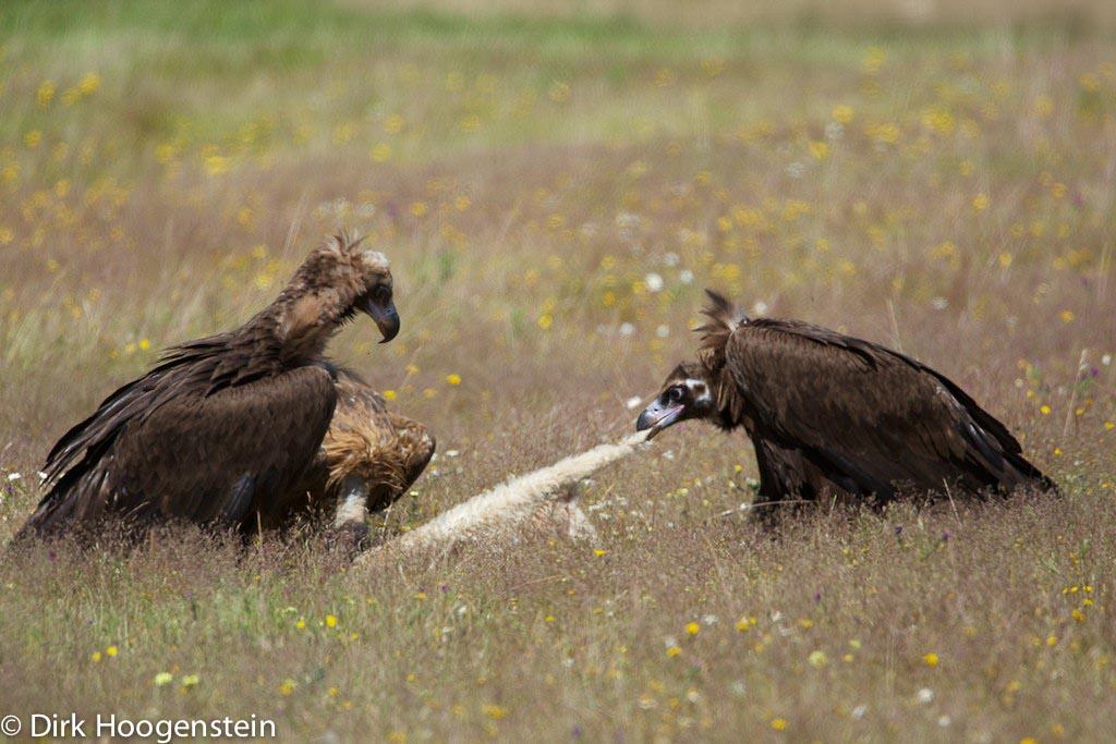 Monniksgieren claimen hun deel van het lam.