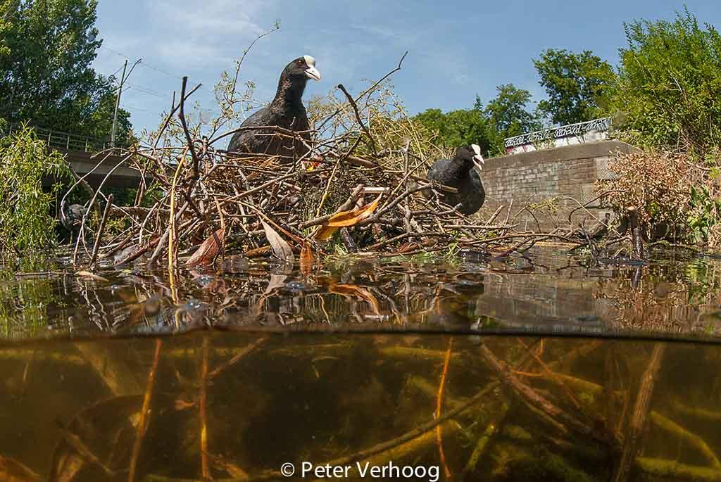 Fuut, meerkoeten op het nest