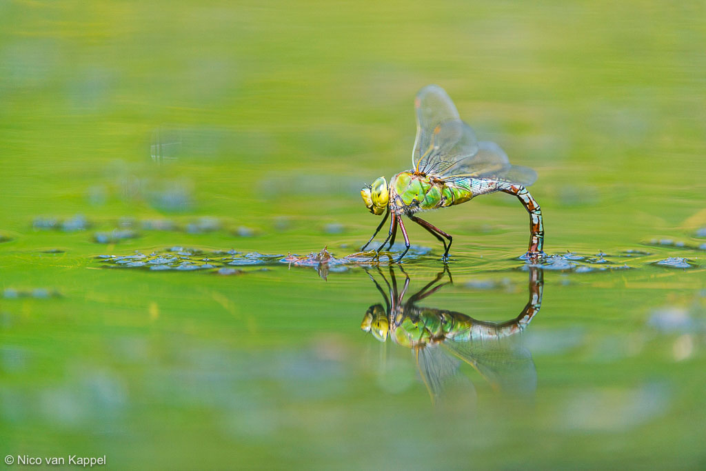 Grote keizerlibel; emperor dragonfly; Anax imperator