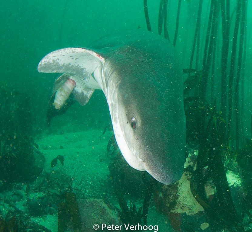 Op deze uitsnede is duidelijk te zien hoe de haai zijn ingewanden spoelt door het uitstulpen van de 'spiral valve'.