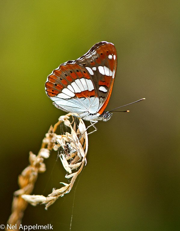 Hoewel de vlinder zijn naam dankt aan de glanzende bovenvleugels is de onderkant van de vleugels van de blauwe ijsvogelvlinder zeker zo fotogeniek.