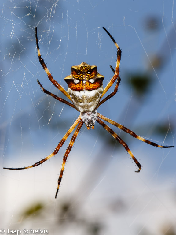 Vrouwtje Zilveren tijgerspin (Argiope argentata) in spinnenweb tegen een blauwe lucht.