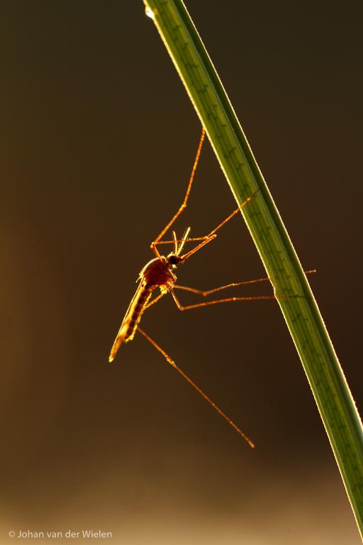 Steekmug in tegenlicht net na zonsondergang op een grasspriet.