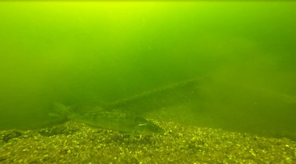 Voor het fotograferen is een onderwatercamera met sterke lamp aanbevolen. Blijf op minimaal 1 meter afstand om een verdedigingsaanval te voorkomen. Gebruik eventueel een magenta filter om het groen weg te filteren. Ik hou daar zelf niet van. Het is zoals het is.