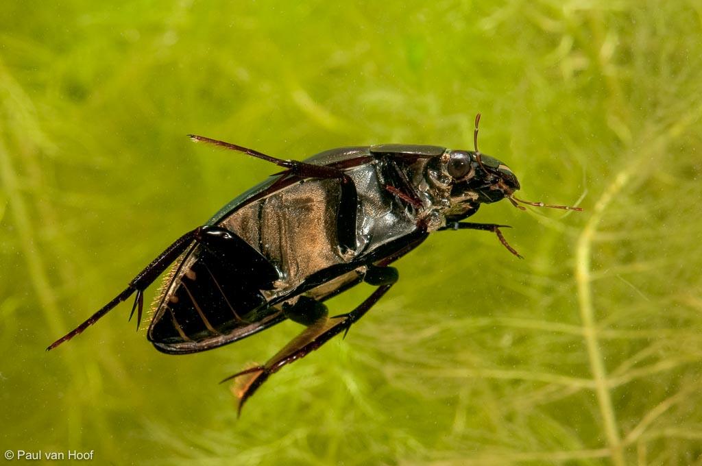 Grote spinnende waterkever; Great silver water beetle