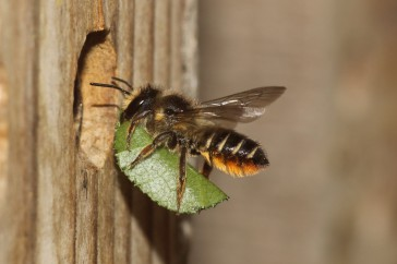 bijenfotografie tuinbladsnijder
