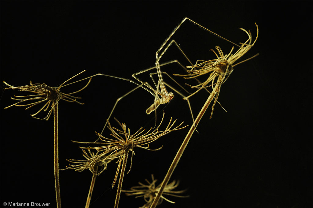 Vibrating Spider Pholcidae sp Trilspin