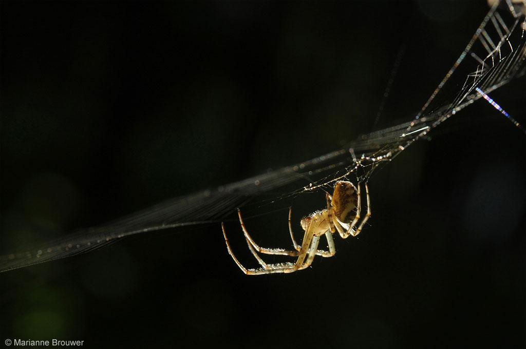 Kruisspin European Garden Spider Araneus diadematus