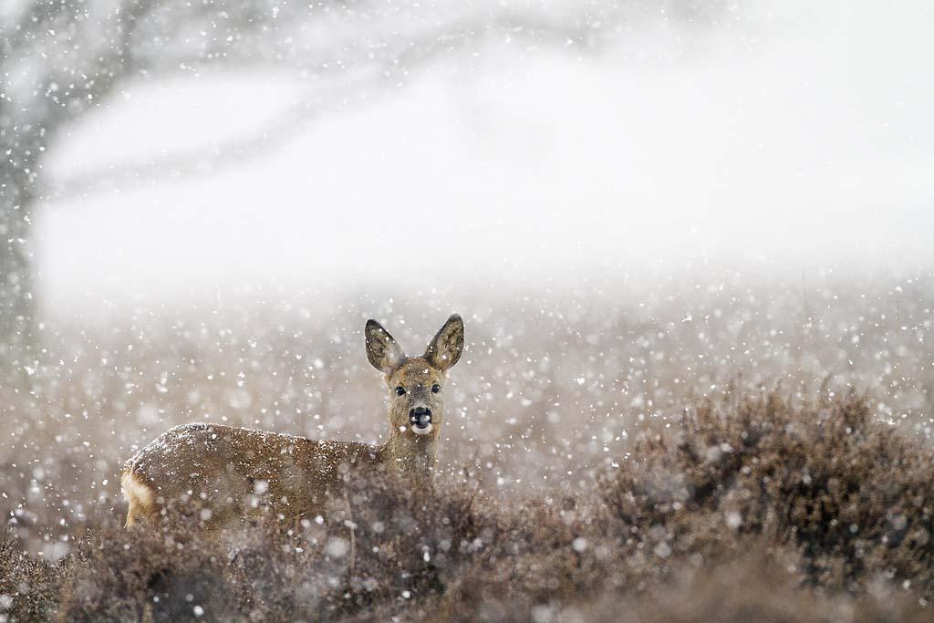 ree roe deer