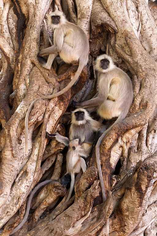 Hanuman Langur Semnopithecus entellus langoer