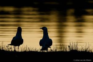 Een silhouet tegen het water met daarin de kleuring van het laatste licht is mooi… maar als je twee meeuwen hebt die ook nog lijken samen te spannen ben ik nog veel blijer.