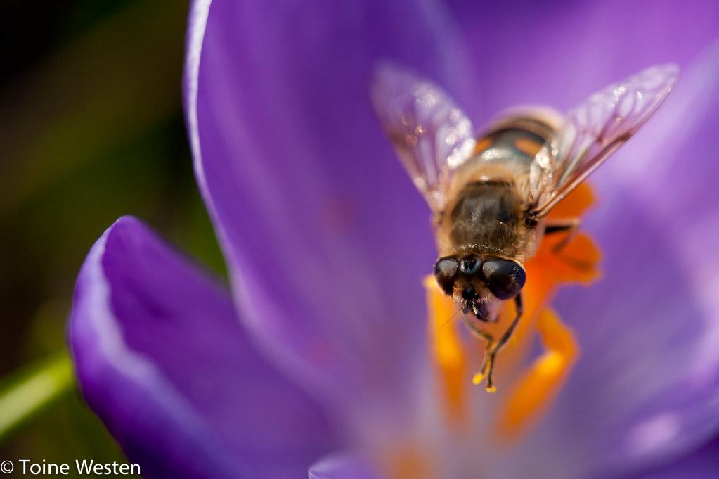 voorjaarsbloeiers insecten