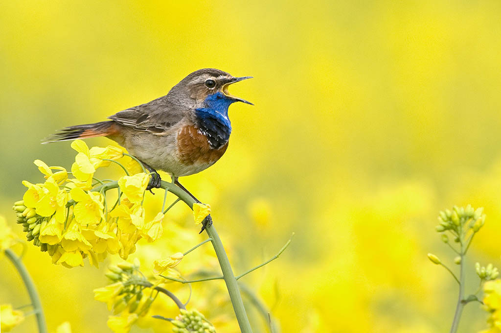 Bluethroat (Luscinia svecica) singing on a flowering Rape Seed (