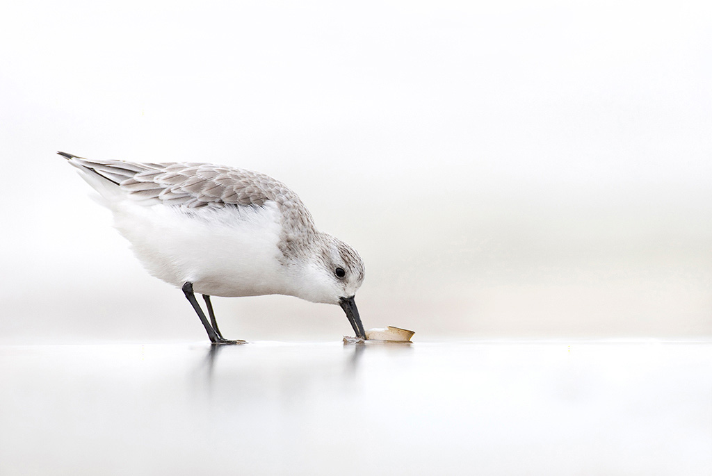 Sanderling (Calidris alba) foraging on shoreline in the water