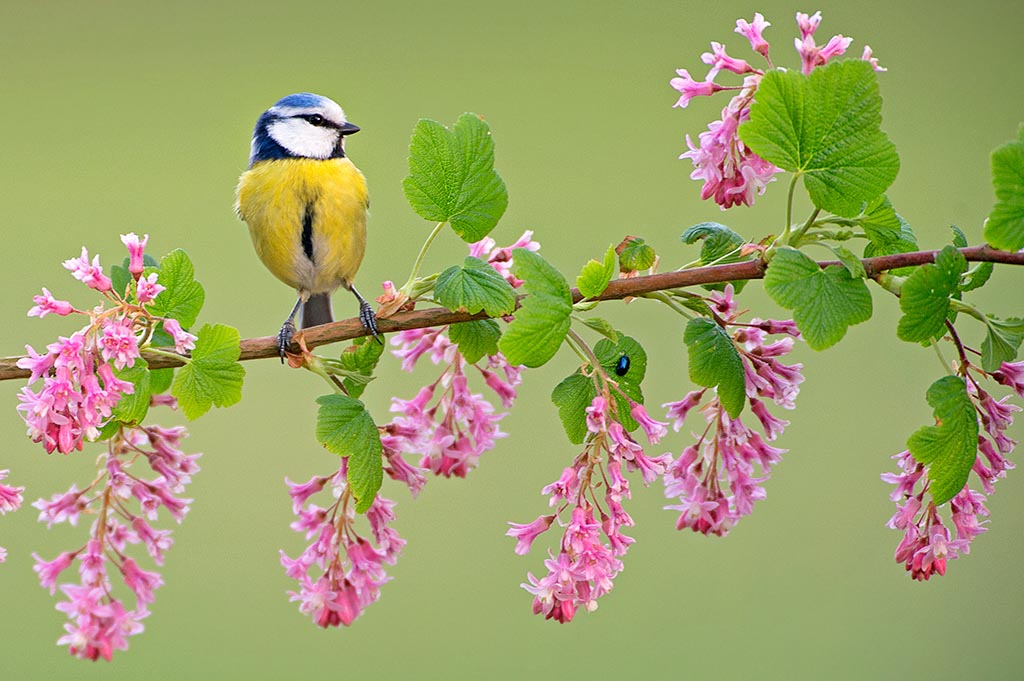 Blue Tit (Cyanistes caeruleus) perching on flowering Ribes Sangu