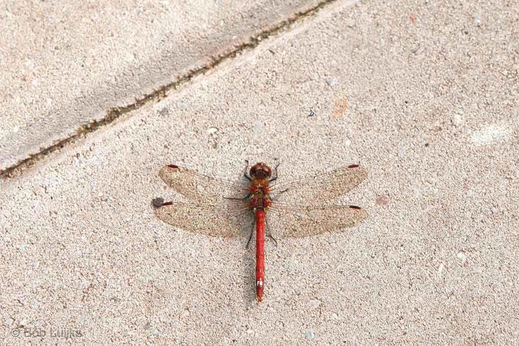 Bloedrode heidelibel warmt zich op op betontegels.