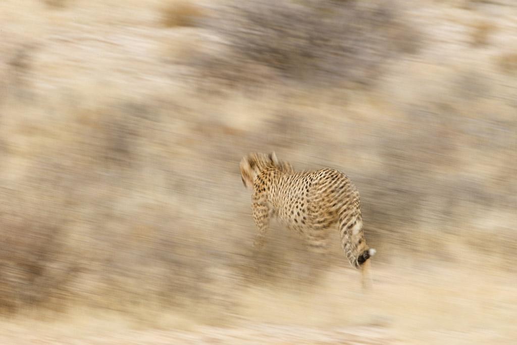 Na een razendsnelle jacht en de daaropvolgende maaltijd, ging de cheetah langzaam op in zijn de omgeving en liep weg naar de toekomst.