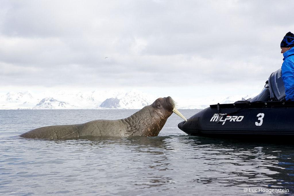 Een speelse, onschuldige walrus. Even dat rare ding testen!