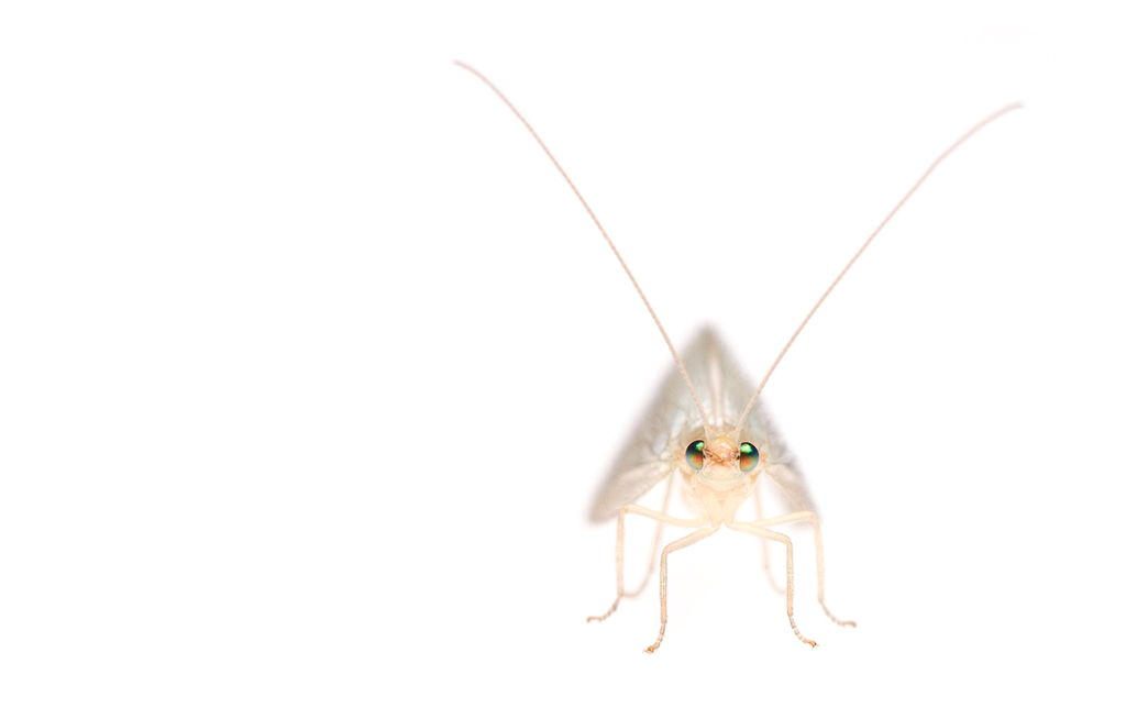 Groene gaasvlieg (Chrysoperla carnea)