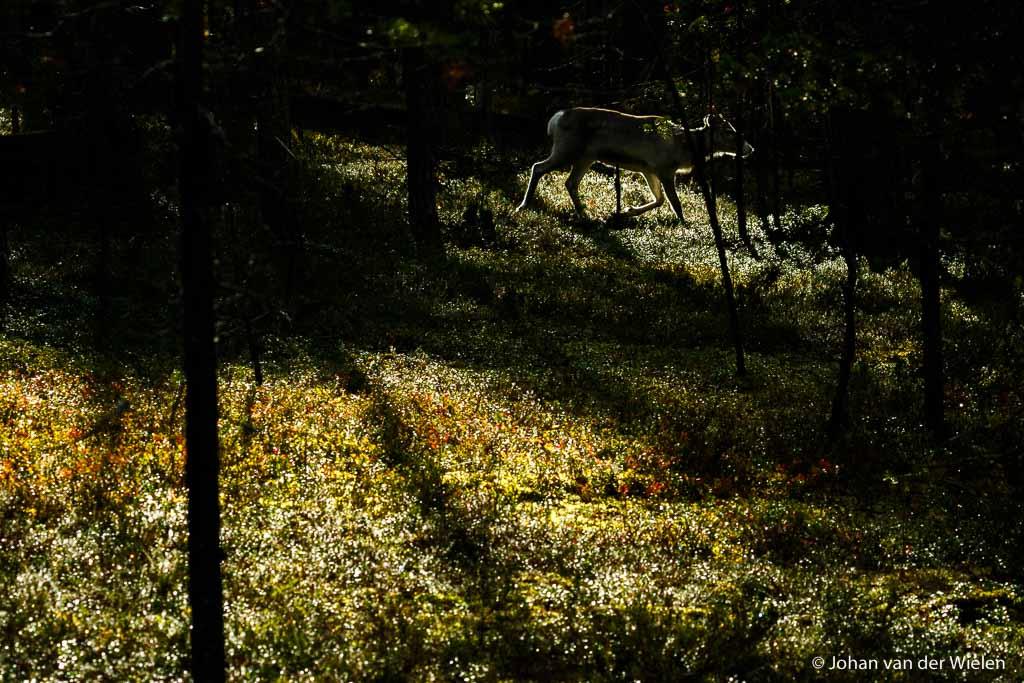 Eenzaam rendier in tegenlicht, Finland - de werkelijkheid? Ik sta op het puntje van mijn tenen over 10 cursisten heen te fotograferen die ik onderwijl met kennis probeer te ondersteunen