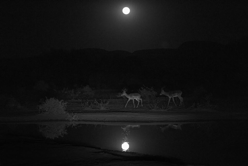 Impalas bij volle maan