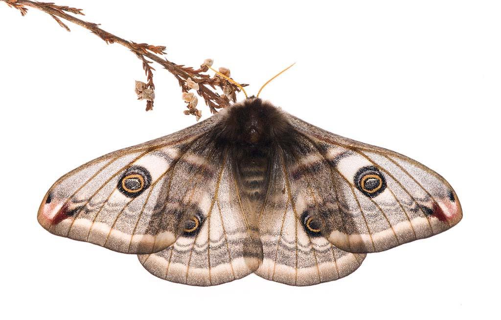 Nachtpauwoog (Saturnia pavonia, syn. Eudia pavonia)