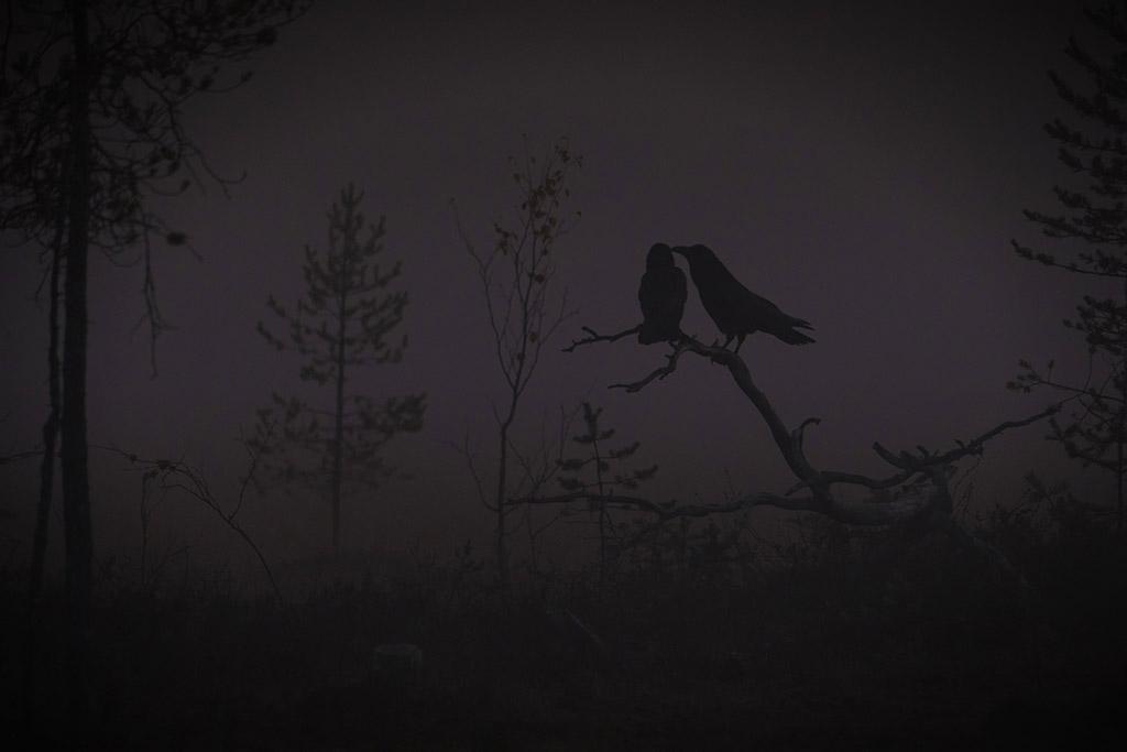 Mistige verbondenheid van twee raven in een Fins moerasgebied bij zonsopkomst.