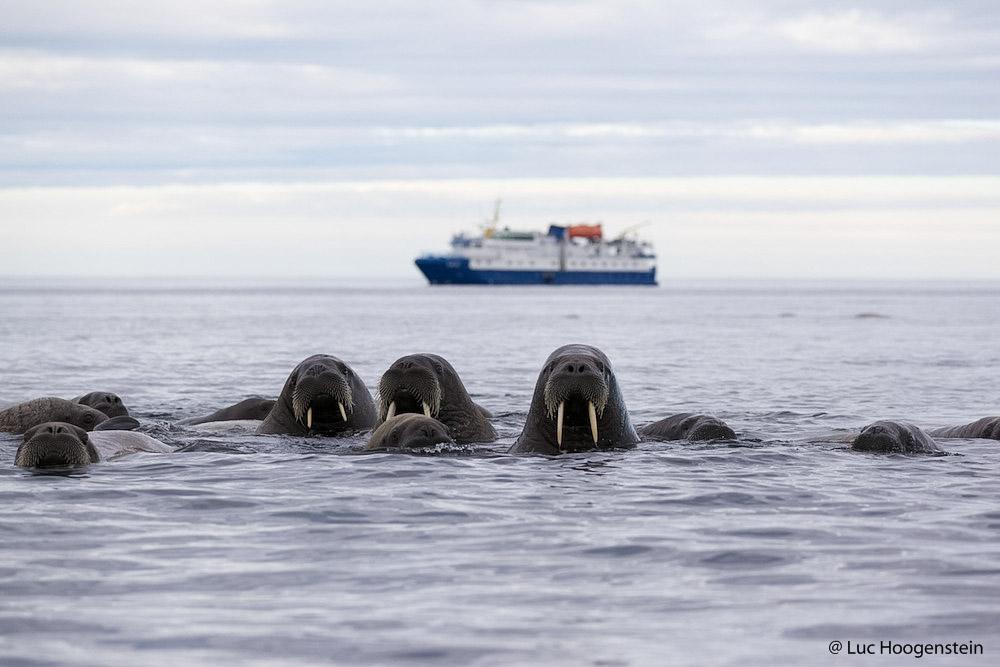 Groepje nieuwsgierige walrussen, op de achtergrond het expeditieschip.