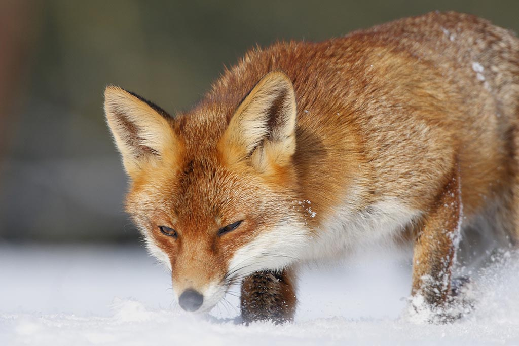 Foto uit 'Pour l'amour d'un renard'.