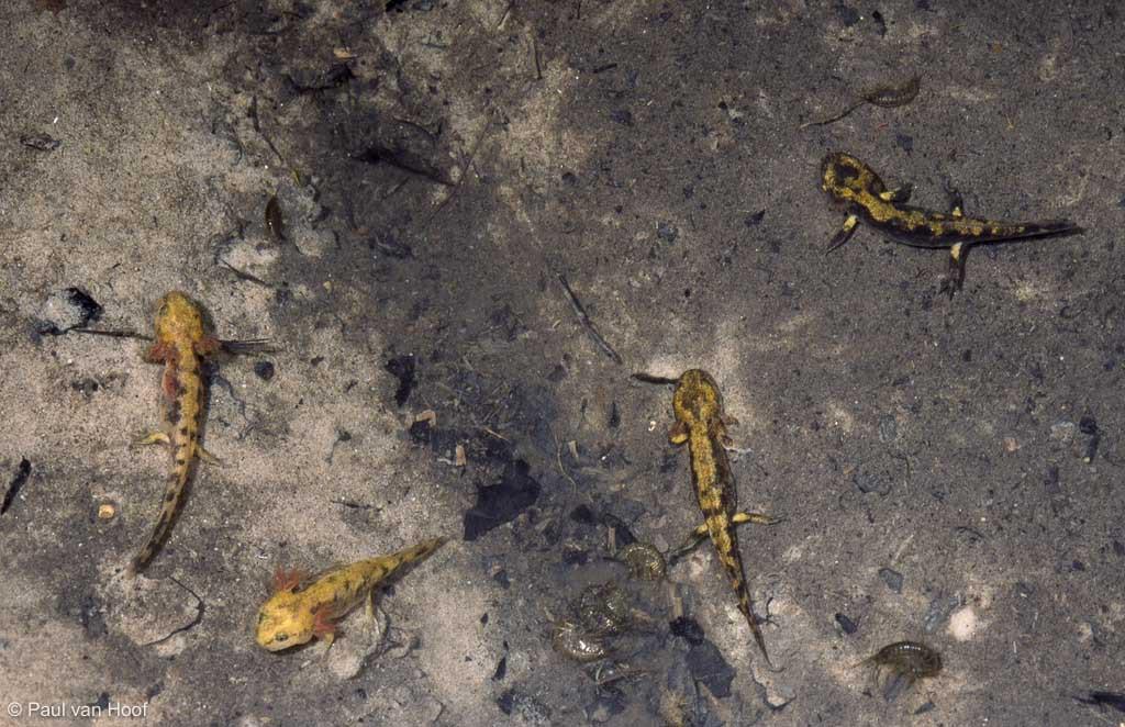 Larven van de vuursalamander in een bronpoeltje.