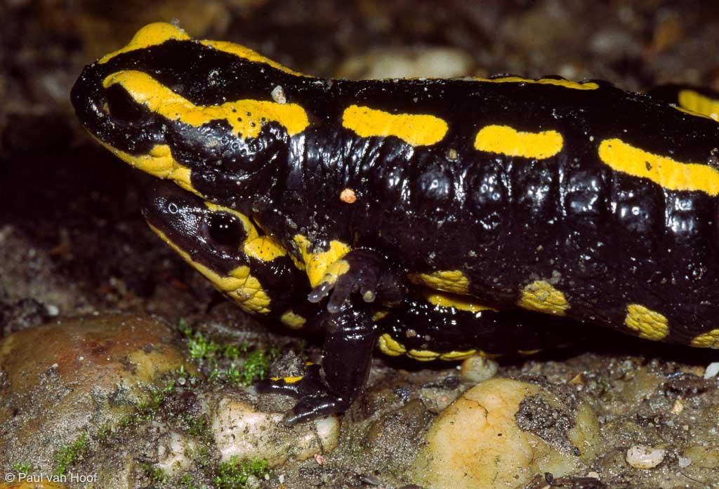 Bij de paring kruipt het mannetje onder het vrouwtje en grijpt haar dan vast.