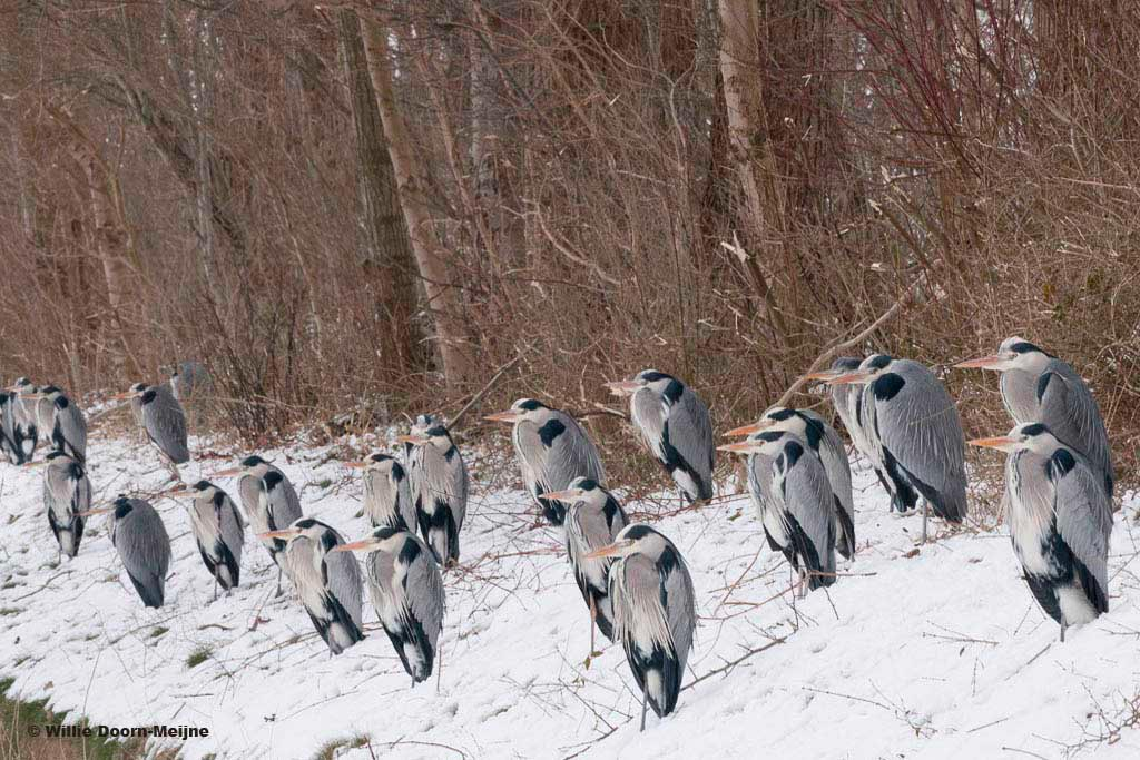 Blauwe reigers Willie Doorn-Meijne