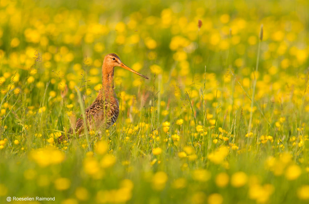 Black-tailed Godwit (Limosa limosa) walking through a field of unidentified buttercups (Ranunculus sp.) at a beautiful spring evening around sunset.
