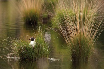 Kokmeeuw Black-headed Gull Larus ridibundus Chroicocephalus ridibundus op nest in hoogveen